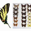 Detektiv Štika: Krádež motýlů rodu iphiclides