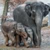 Zoo Praha: PRVNÍ VYCHÁZKA SLŮŇAT – Maxík se vrhal do kaluží…