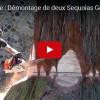 VIDEO: Kácení obřího stromu – 45 metrů vysoké suché sekvoje