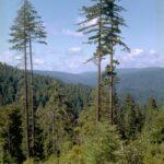 Hyperion – strom, který je vyšší než Katedrála sv. Víta