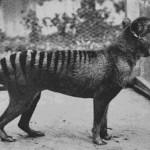 Nejnovější záběry vyhynulého (?) tasmánského tygra