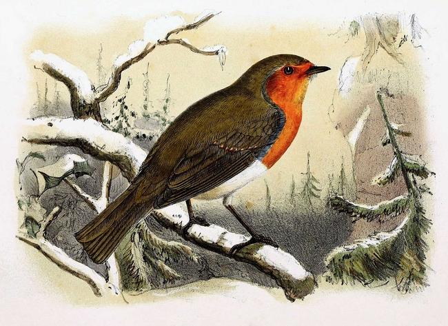 Erithacus_rubecula_1869