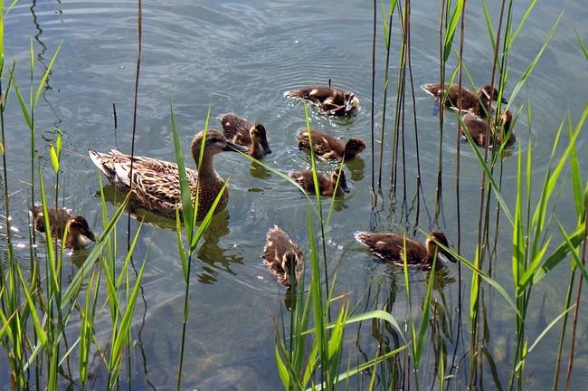 ducks-355361_960_720