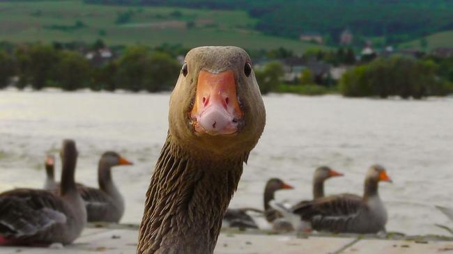 goose-178143_960_720