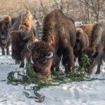 Kde skončil pražský vánoční strom? V žaludcích zvířat ze ZOO…