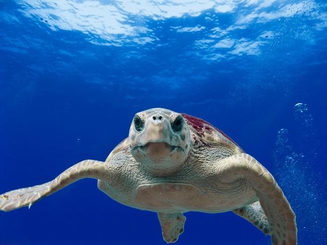 loggerhead-turtle-123402_960_720