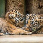 NARODILI SE MALÍ TYGŘÍCI – ve čtvrtek je můžete poprvé vidět v Zoo Praha