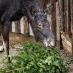 Tip na výlet: Zvířata v ZOO PRAHA si pochutnají na vánočních stromečcích